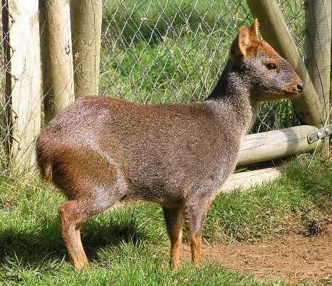 世界最小の鹿プーズー02
