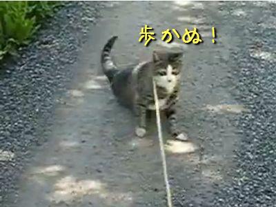歩きたくない猫