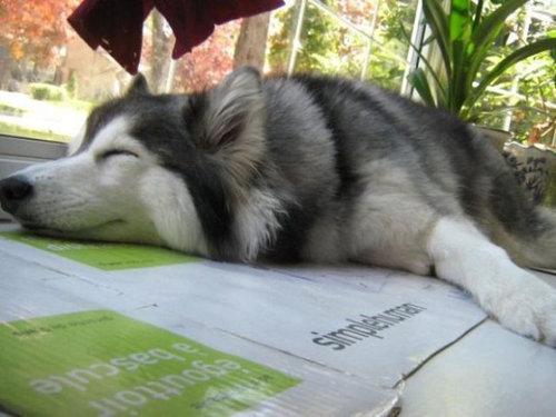 猫みたいなハスキー犬18