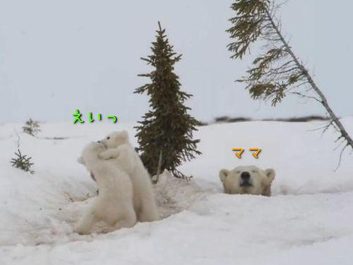 シロクマ2頭