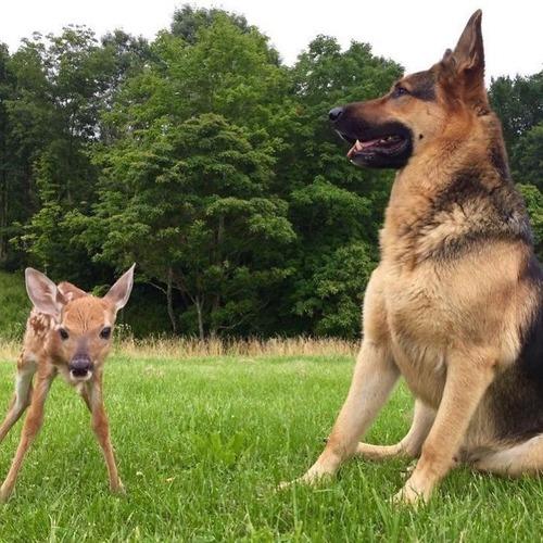 子鹿を世話する犬01