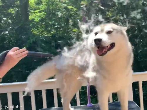 ハスキー犬の毛替わりのアイデア03