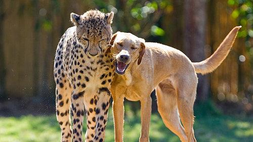 チーターと犬の友情13