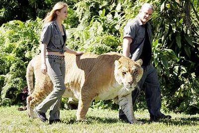 虎とライオンの交配種・ライガー02