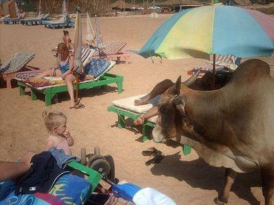 リゾート・ビーチに牛15