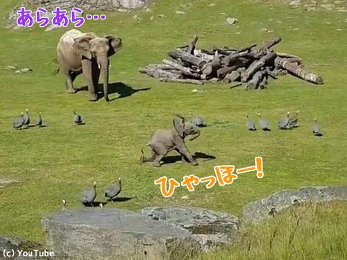 遊びに夢中で転んでしまう赤ちゃんゾウ00