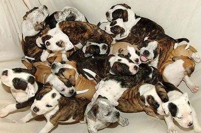子犬が20匹も一度に生まれる