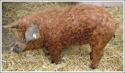 豚と羊の交配種04