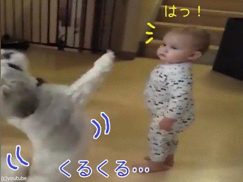 くるくるシーズー00