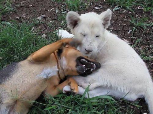 犬とホワイトライオンの赤ちゃん01