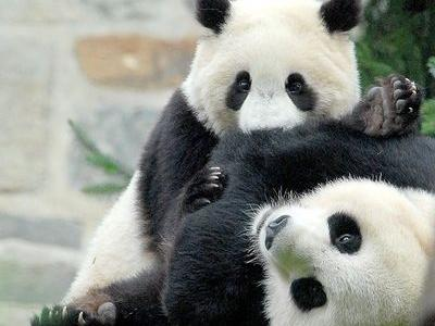 ちびパンダのプロレス