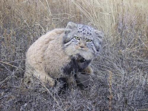 ロシアの農夫「子猫を拾ったつもりが…」04