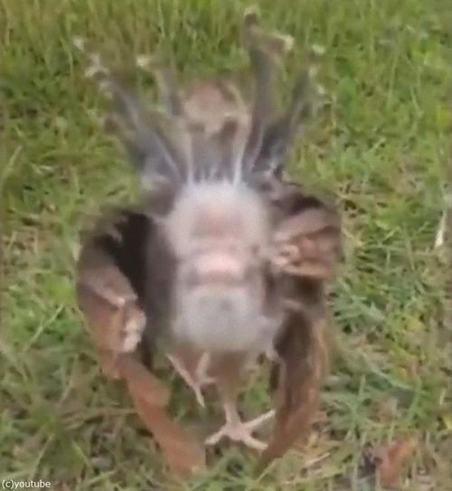 孔雀の赤ちゃん03