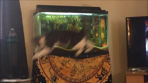 水槽を狙う猫06