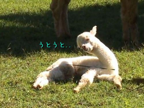 うとうとするアルパカの赤ちゃん
