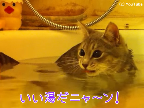 こんなにお風呂大好きな猫見たことない件00