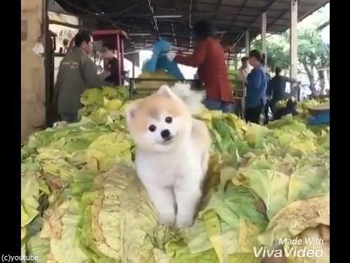 キャベツの山で微笑む犬04