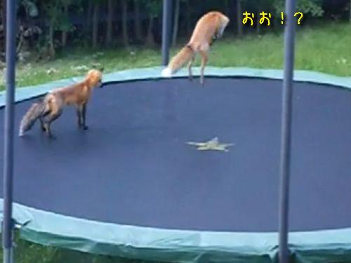 狐とトランポリン