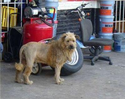 ライオン犬02