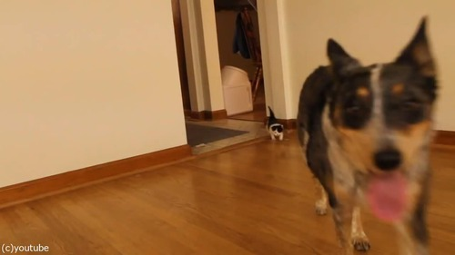 猫の赤ちゃん、義理のお母さんとなった「犬」の後を歩く04