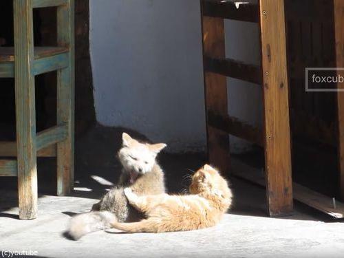 子ギツネと子猫04