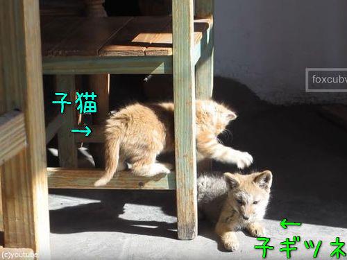 子ギツネと子猫00