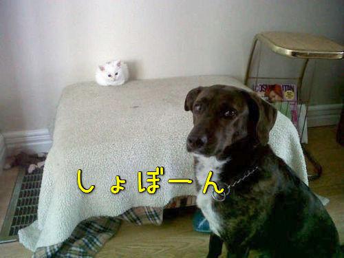 猫にベッドを奪われた犬たち00