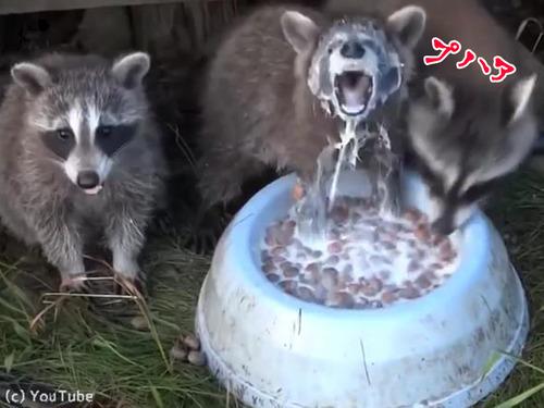 アライグマの牛乳の飲み方が豪快すぎる00