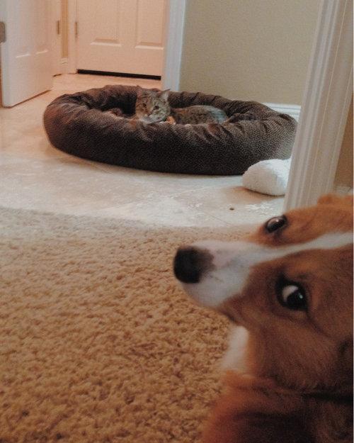 猫にベッドを奪われた犬たち19