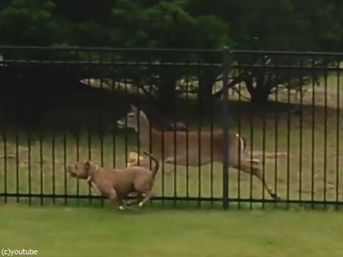 柵越しの犬と鹿05