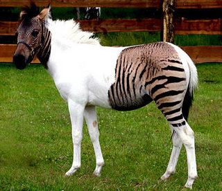 半分シマウマの馬