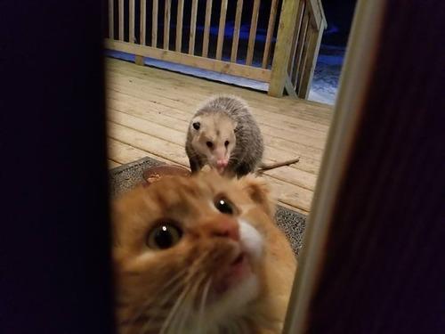 オポッサムにエサを奪われた猫02