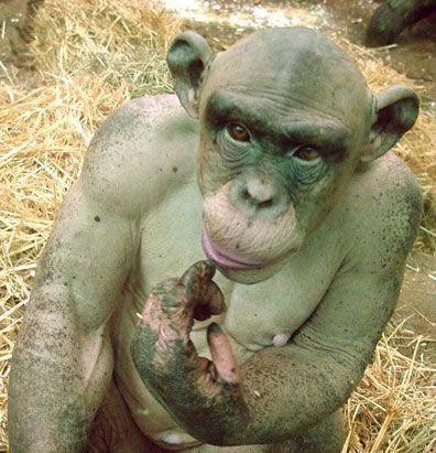 毛が無いチンパンジー01
