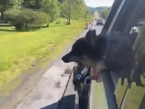 道路のコーンを食べようとする犬03