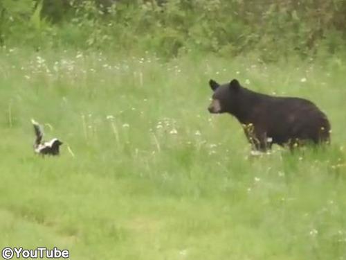 絶体絶命のスカンクがクマを撃退する瞬間00