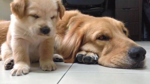 子犬が睡魔と格闘→あっさり負ける03