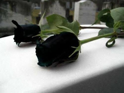 黒バラ04