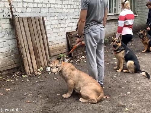 犬の訓練にピューマ00