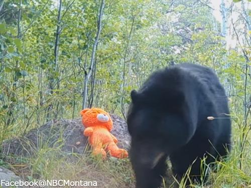 テディベアと遊ぶ野生のクマ00