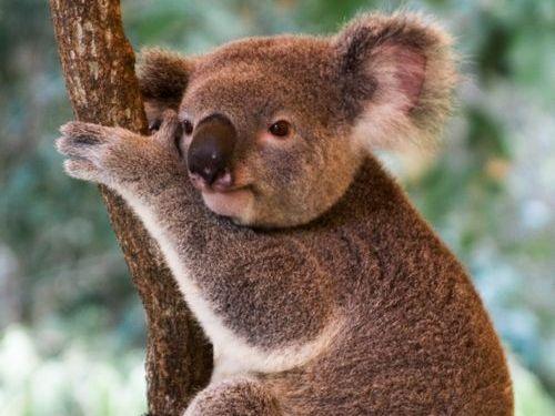 コアラが獰猛なとき00