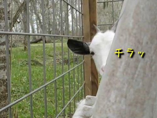チラ見するヤギ00