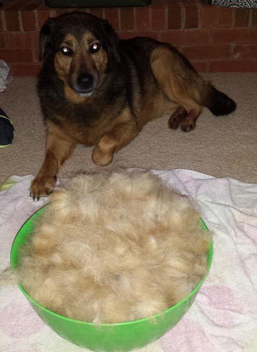 犬の毛変わり07