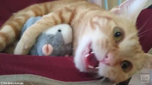 声真似おもちゃを猫に与えた結果01