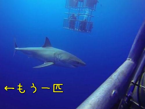サメのおとり、こっちに気を取られている間に00