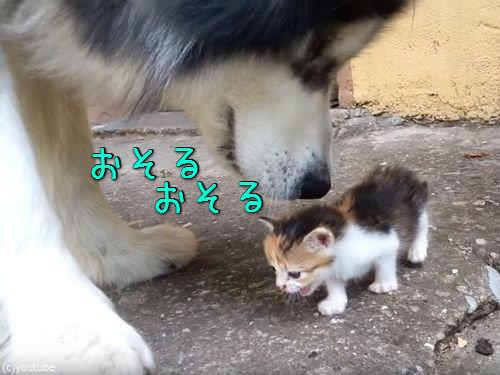 マラミュートが子猫の世話00
