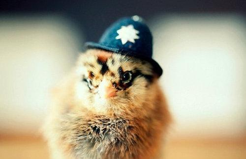 ひよこに帽子01