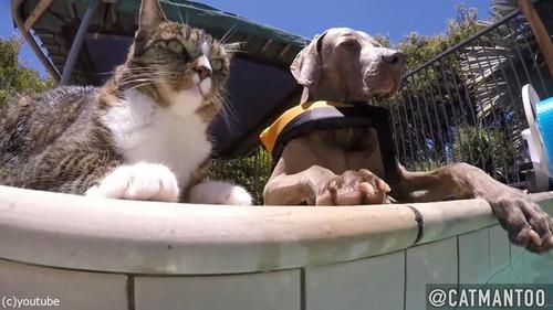 犬の背中に乗ってプール遊びをする猫07