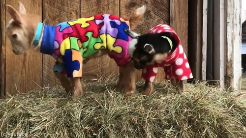 赤ちゃんヤギたちのパジャマパーティー05