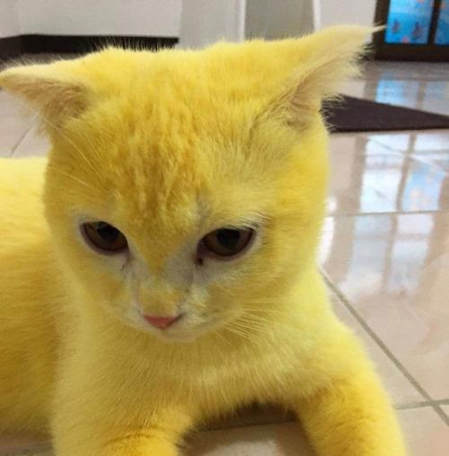 治療のウコンでピカチュウ化した猫06