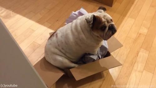 ブルドッグ「どうしてもこの箱が好きなんです」03